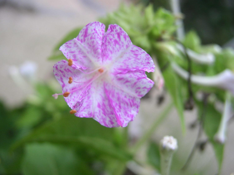 一日一花オシロイバナ№173 弁変化型 白地に鮮やか紫霧斑点