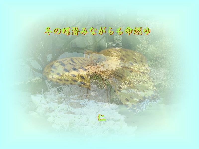 フォト575あそび『 冬の蝶潜みながらも命燃ゆ 』zpy3101