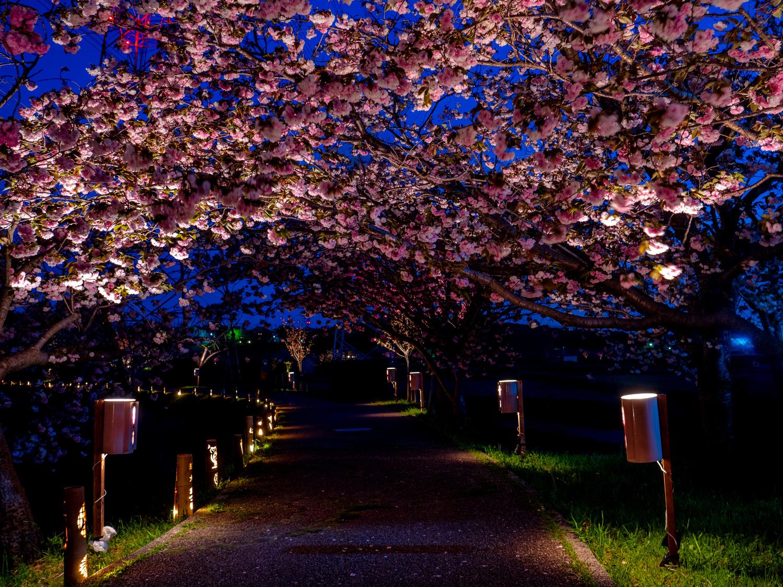 夜桜と竹灯篭