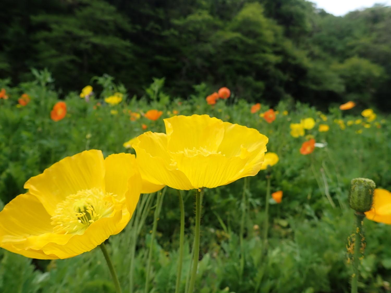 くりはま花の国にやってきました。ポピーが沢山咲いています。