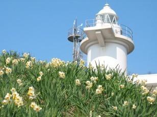 日本海越前海岸~白い灯台と水仙でっせ~(*_*)