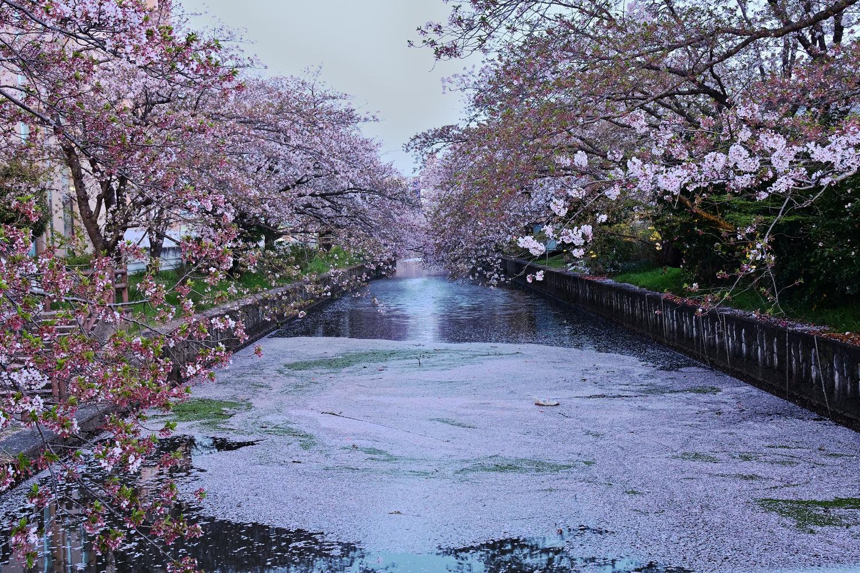 新川の夜桜
