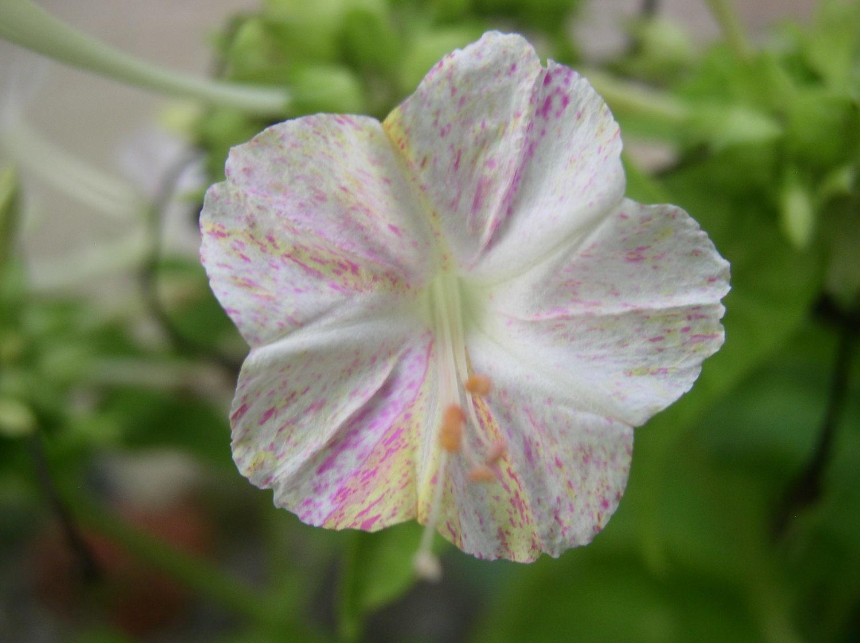 一日一花オシロイバナ№168  桜花咲き正五弁 白地に薄黄色の筋と紫の散り斑