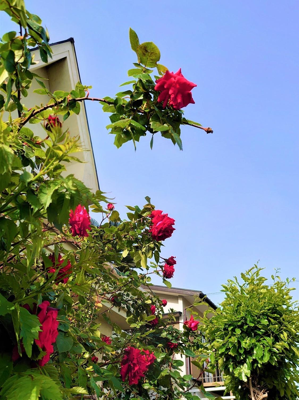 近所の薔薇