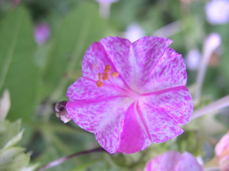 一日一花オシロイバナ№175  正五弁広弁型 紫の縞斑虎斑柄