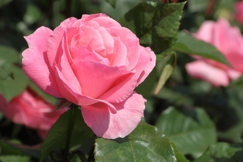 薔薇公園のバラを撮影しました!