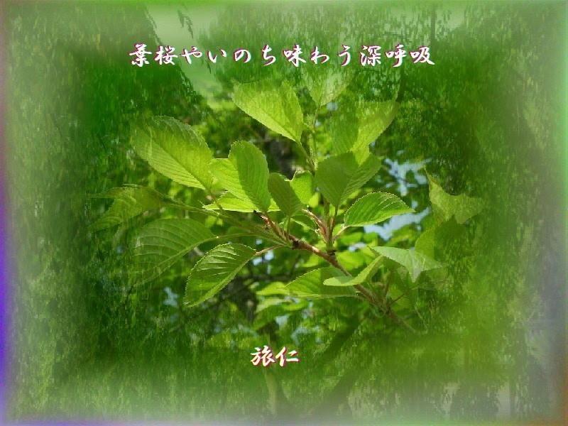 フォト575あそび『 葉桜やいのち味わう深呼吸 』yvt0901