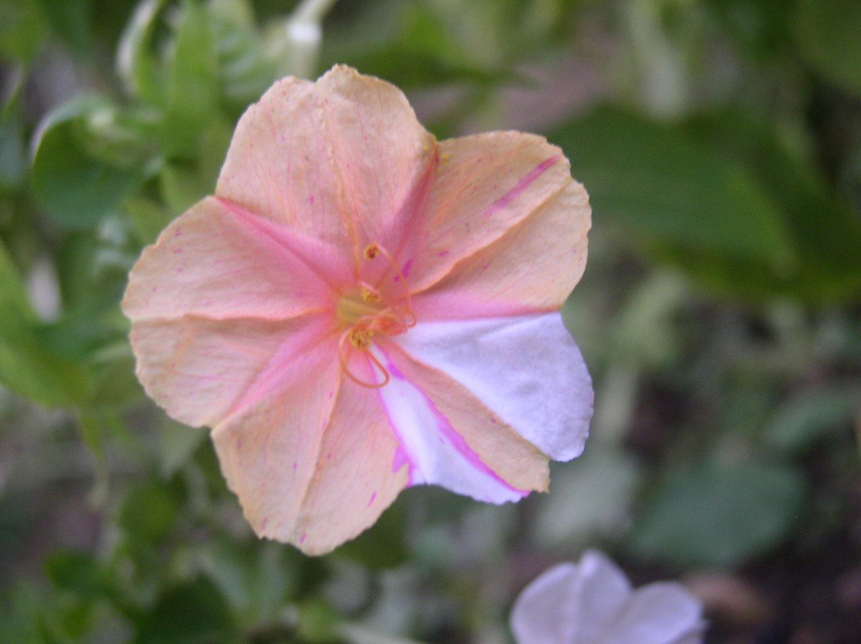 一日一花オシロイバナ№176 咲き分け代表華姿