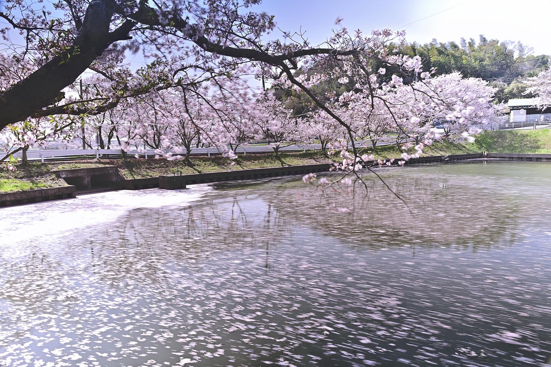 名も無い池の桜