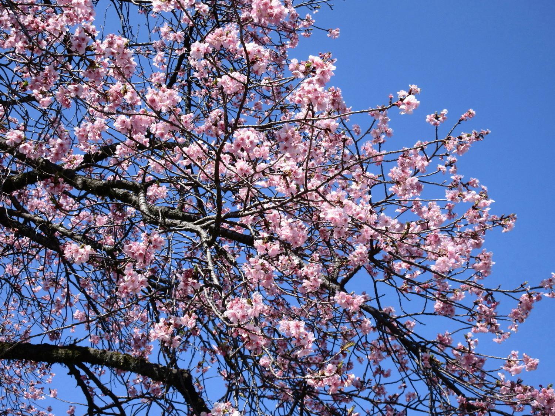本宮境内の河津桜(本殿横)