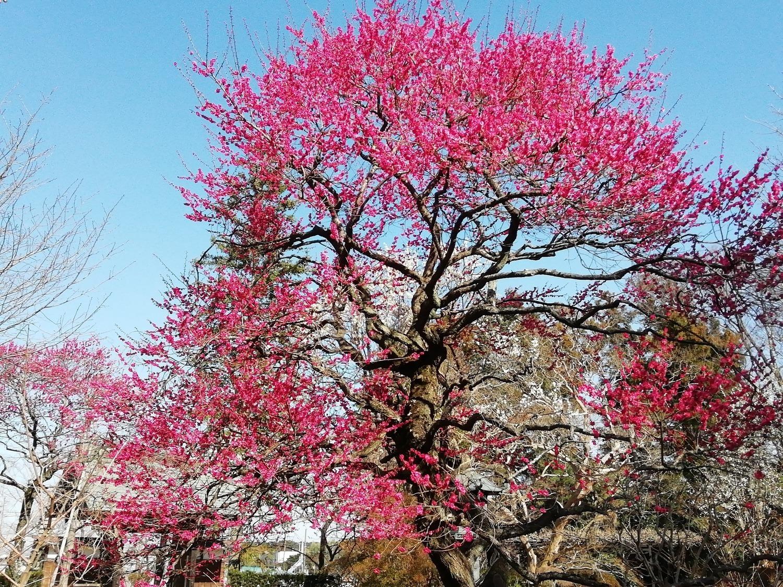 庭園の紅梅   隠れた紅梅スポット 千葉県柏市「観音寺」   2月23日