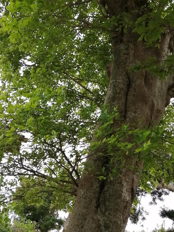 我が家の御神木