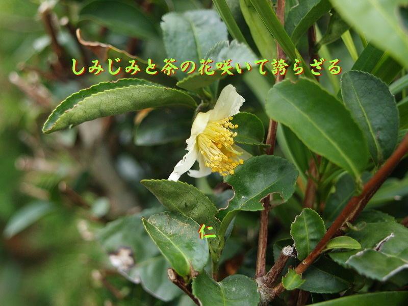 フォト575あそび『 しみじみと茶の花咲いて誇らざる 』vyx1801