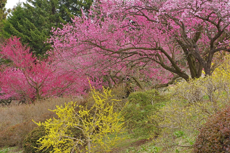 美しい梅並木