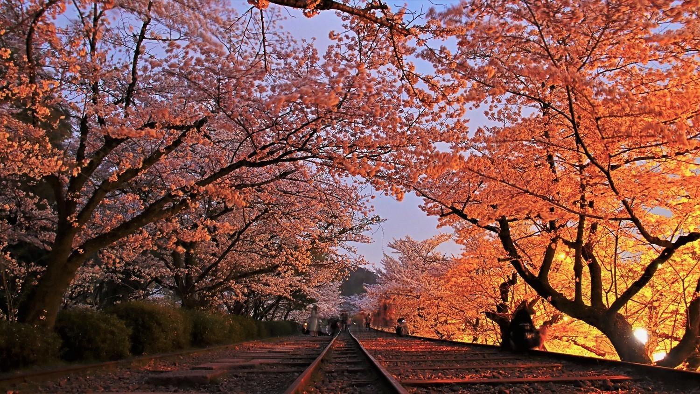 蹴上インクラインの夜桜