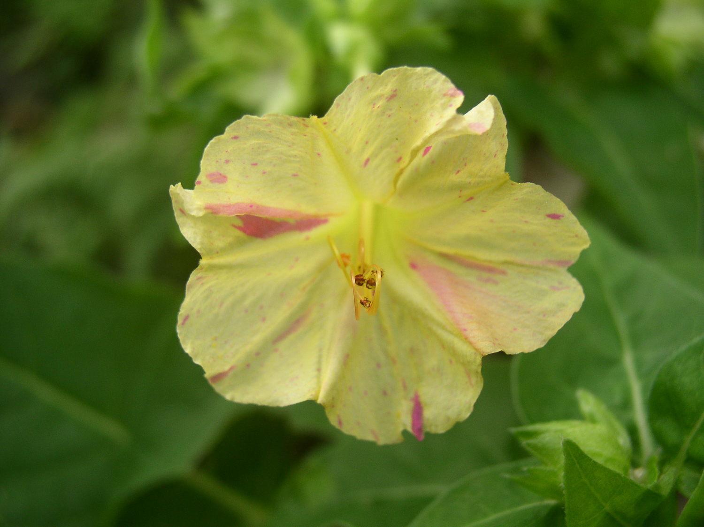 一日一花オシロイバナ№182  4.5弁の変化型薄黄色の乗り