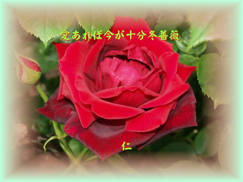 フォト575あそび『 愛あれば今が十分冬薔薇 』vyw0501