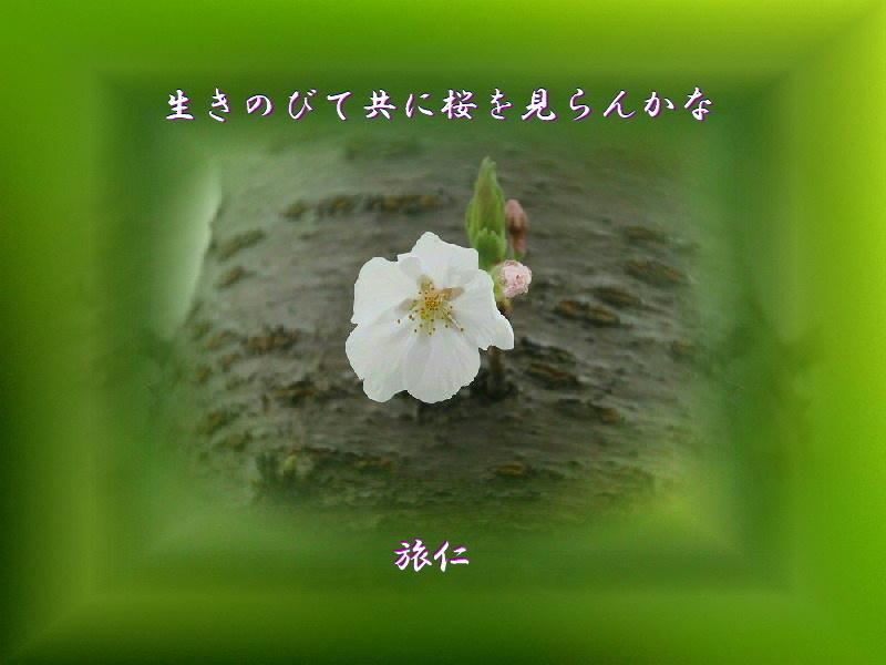 フォト575あそび『 生きのびて共に桜を見らんかな 』yvw0105