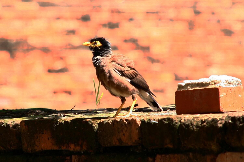 タイの野鳥