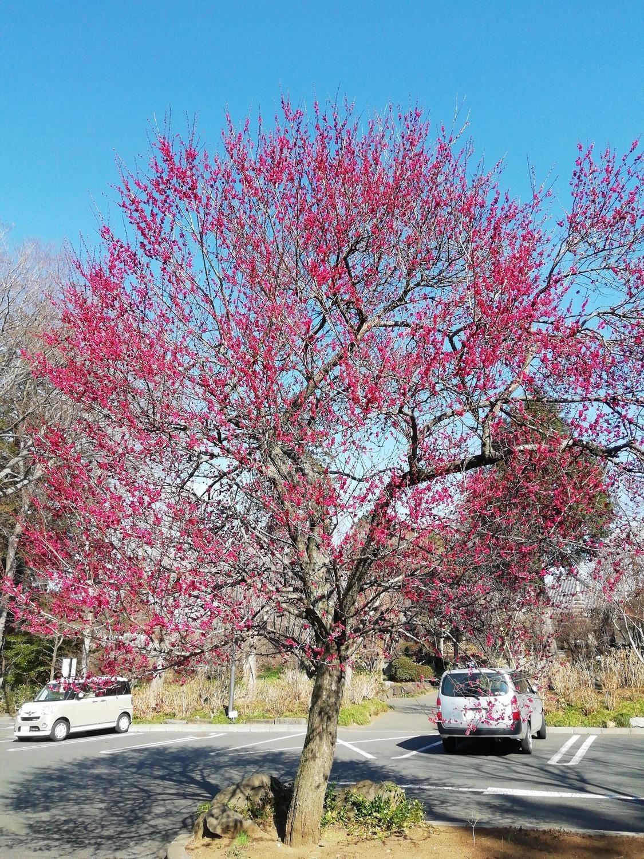 駐車場にある大きな紅梅    隠れた紅梅スポット 千葉県柏市「観音寺」   2月23日