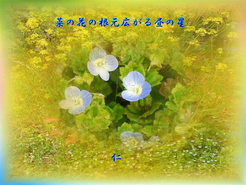フォト575あそび『 菜の花の根元広がる昼の星 』yvw0113